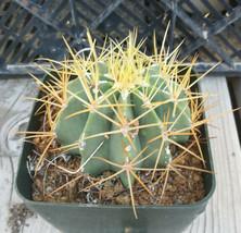 Ferocactus glaucescens Blue Barrel Gold Spine Cactus 70 - $10.84