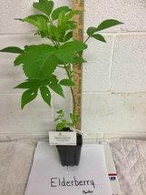 Elderberry (Sambucus canadensis) shrub qt. pot image 5