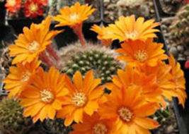 Rebutia flavistyla @J@ exotic rare cactus seed 20 SEEDS - $18.00
