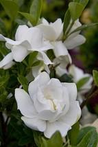 Cape jasmine Jubilation Gardenia Live Plant Trade Gallon Pot - $63.99