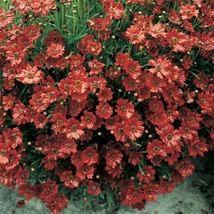 25 Coreopsis Seeds - Mahogany Midget, Coreopsis Tinctoria, Flowers , Tic... - $4.99