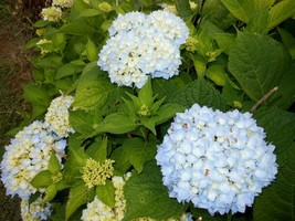Nikko Blue Mophead Hydrangea  image 2