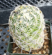 Coryphantha delicata Conical Tubercles Random Central Spines 62 - $10.35
