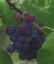 Saturn Blue Seedless Grape Vine 2 gallon Live Plant Home Garden Easy to Grow  - $43.60