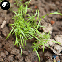 Buy Cumin Seeds 200pcs Plant Spices Vegetables Fennel Hui Xiang - $5.99
