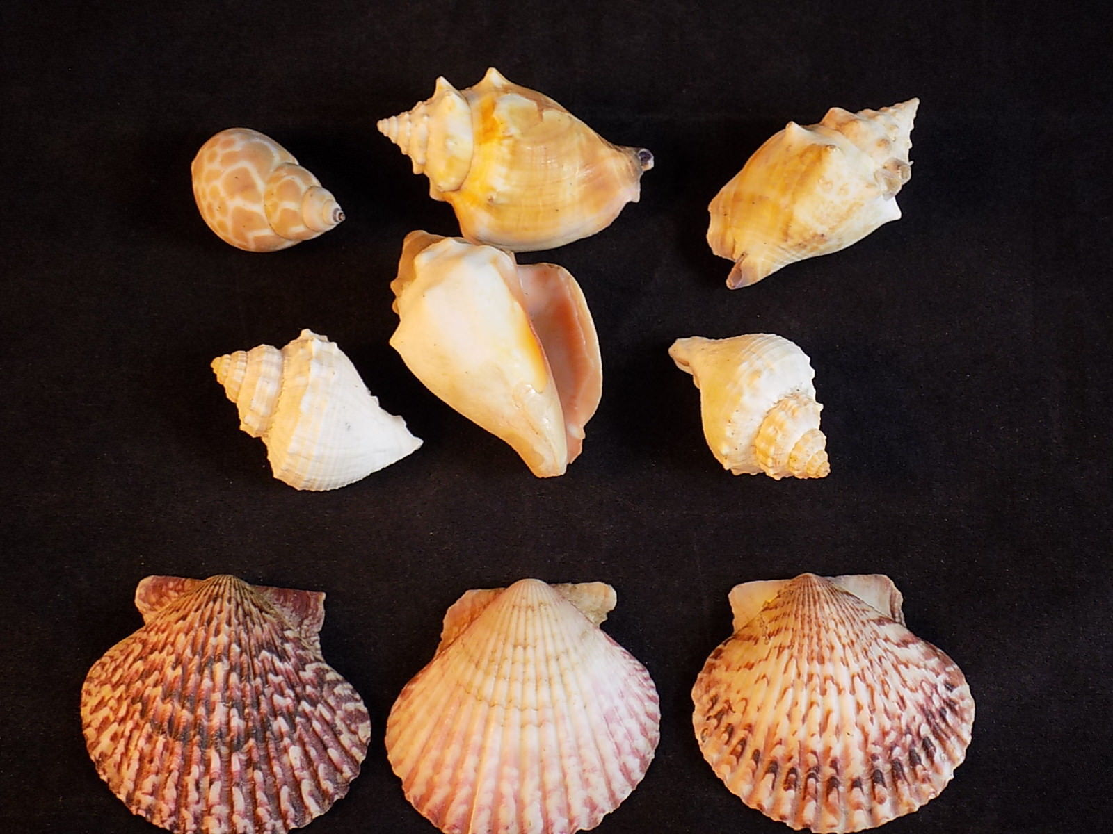 Primary image for Small Lot of 9 SEA SHELLS CONCH, SCALLOP and Mollusk Beach House Decorations