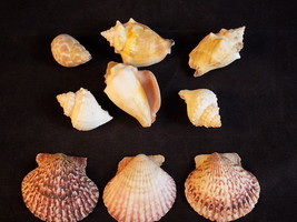 Small Lot of 9 SEA SHELLS CONCH, SCALLOP and Mollusk Beach House Decorat... - $8.90