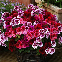 Geranium Mixed Dark Red Petals Pink Edege Flowers Deep Red and White Sem... - $8.49