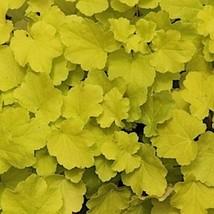 10 Heuchera ' Citronelle ' - Coral Bells - Live Plant - Alumroot - Perennial - $67.02