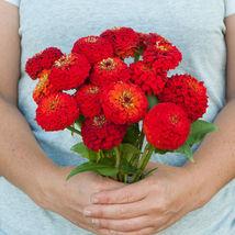 Oklahoma Scarlet Zinnia Flower Seeds Container Flower Seeds - $8.99