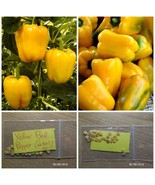 Yellow Sweet Bell Pepper ''Canary'' ~25 Top Quality Seeds - Amazing Variety - $13.48