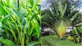 Travelers Palm Ravenala Madagascariensis >>LIVE PLANT - $135.99