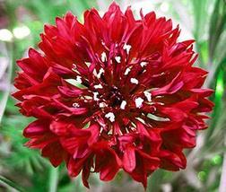 500 Seeds Cornflower Tall Mix - $13.86