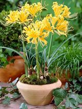 BEST DEAL - 2 Bulbs of Large Lycoris Aurea, Yellow Heirloom Spider Lily ... - $19.99