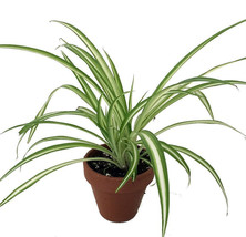 "Ocean Spider Live Plant Clay 4""Pot Cleans the Air Easy to Grow Best Gift... - €13,82 EUR"
