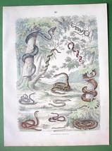 SNAKES Boa Python Viper Naja Garter - 1860s  H/C COLOR Antique Print - $10.71