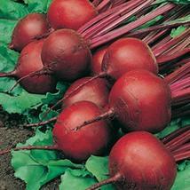 RED ACE HYBRID BEET SEEDS * 100 COUNT PKT. * DROUGHT TOLERANT * - $2.44