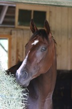 8x10 color photo of Songbird headshot  in stall - $20.00