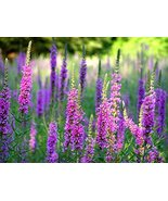 100 Purple Loosestrife Flower Seeds Lythrum Salicaria Rosy Gem - $9.89