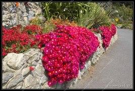 BEST PRICE 100 Seeds Ground-cover Chrysanthemum Flower,FS DIY Flower Seeds - $6.88
