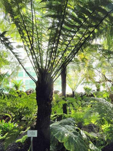 Image of Dicksonia fibrosa | golden tree fern | kuripaka | 50 spores