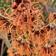 Hamamelis × intermedia 'Jelena', 1 year old plant - $75.99