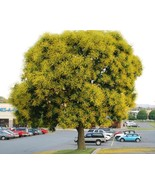 Koelreuteria Paniculata (Golden Rain Tree) 100 seeds - $6.49