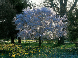 Yoshino Flowering Cherry Tree image 6