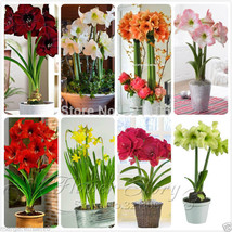 SALE Special Offer 8 kinds Amaryllis Lily (Papilio Hippeastrum Hybrids) ... - $26.01