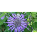 Organic Wild Bergamot, Monarda fistulosa, Hummingbird moths - $3.50