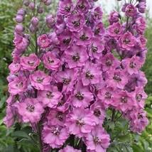 SHIP FROM US 50 Delphinium Astolat Flower Seeds (Cultorum), UTS04 - $11.98