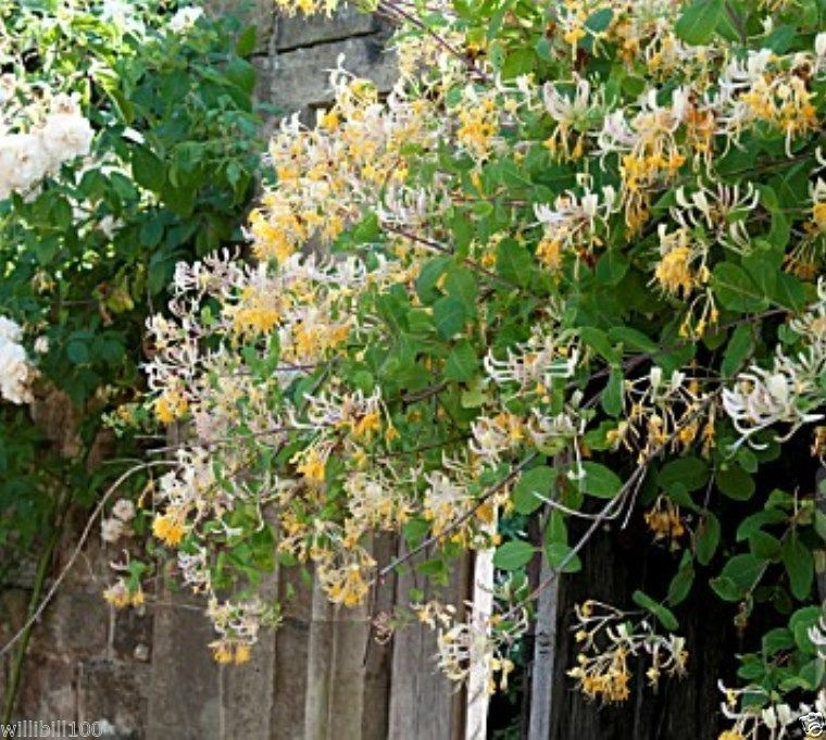 Lonicera etrusca etruscan honeysuckle perennial climbing vine fragrant flowers vine seeds - Climbing plants that produce fragrant flowers ...