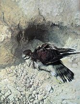 Sharp Shinned Hawk, By Artist Raymond Harris Ching, print art, (paintings, dr... - $14.84