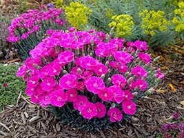 1 Starter Plant of Dianthus Shooting Star - $122.76