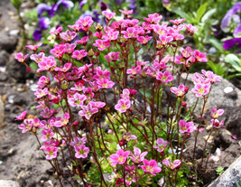 Ship From Us 50 Rose Robe Saxifraga Saxifraga Arendsii Mossy Rockfoil Seeds SBR4 - $14.00