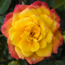 Rose Bush Starter Plant - Rainbow Sunblaze - Ships Without Pot - Gardening - $70.00