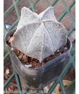 Astrophytum myriostigma Bishop's Cap Spineless ... - $8.85