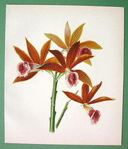 RED ORCHIDS Flowers - Victorian Era COLOR Litho Antique Print - $13.46