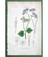 BLUE MIST Flower Plant Ageratum coeruleum - H/C... - $22.28