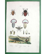 SEA HARE Snail Bugs  - H/C Color Antique Print ... - $15.84