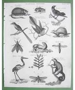 1816 NATURAL HISTORY Print - Musk Rat Flycatche... - $14.36