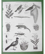 1816 NATURAL HISTORY Print - Tobacco Plant BIrd... - $14.36