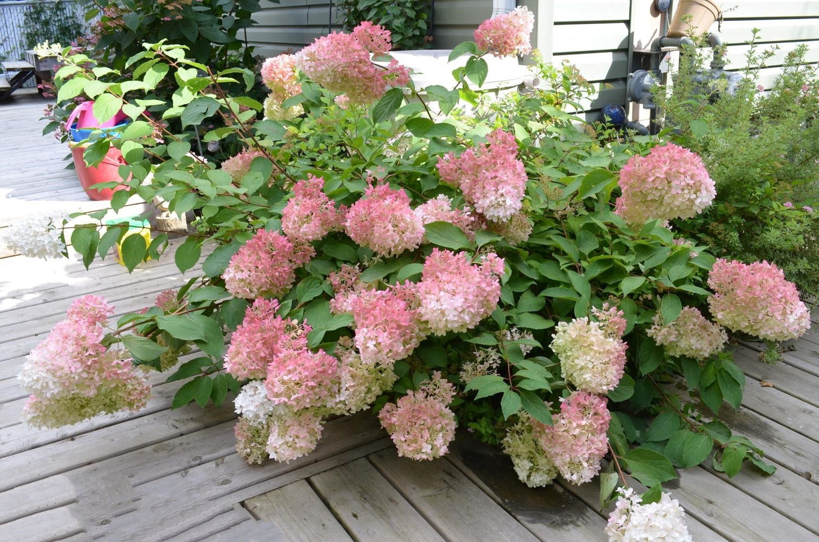 Primary image for Hardy Hydrangea Pinky Winky Live Plant Quart Pot