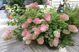 Hardy Hydrangea Pinky Winky Live Plant Quart Pot - $47.99