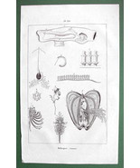 MOLLUSKS Anatomy - 1836 Copperplate Print Engra... - $5.46