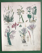 FLOWERS Gladiolus Crocus Valerian - Botanical H/C Color Antique Print - $15.15