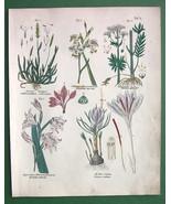 FLOWERS Gladiolus Crocus Valerian - Botanical H... - $15.15