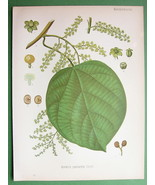 LEVANT BERRY Anamirta paniculata Medicinal Plan... - $18.93