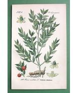 PLANTS Butcher's Broom Ruscus aculeatus - COLOR... - $11.78