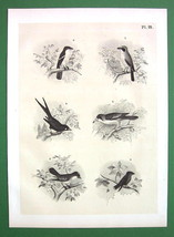 BIRDS King Crow Magpie Swallow Shrike - Antique... - $11.78